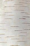Casca de vidoeiro, uma floresta do russo, mola. Fotografia de Stock Royalty Free
