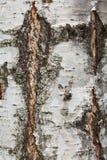 Casca de vidoeiro velha com quebras e close-up das listras foto de stock