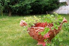Casca decorativa vermelha da palha de canteiro Imagem de Stock Royalty Free