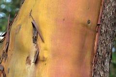 Casca do Arbutus Foto de Stock Royalty Free
