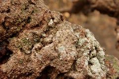 Casca do Banksia imagem de stock royalty free
