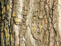 Casca do córtice da floresta da árvore do fundo Foto de Stock Royalty Free