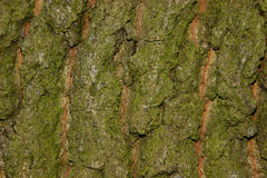 Casca do carvalho Imagem de Stock Royalty Free