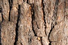 Casca do cedro abstraia o fundo Fotos de Stock