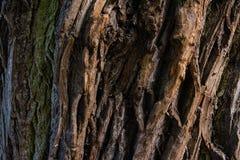 Casca do close up do carvalho Fotos de Stock Royalty Free