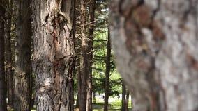Casca do close-up da árvore das coníferas video estoque