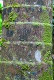 Casca do detalhe do tronco da palmeira Imagens de Stock