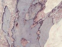 Casca do eucalipto foto de stock royalty free