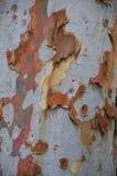 Casca do eucalipto Imagem de Stock