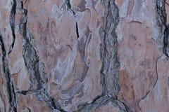 Casca do pinho Foto de Stock Royalty Free