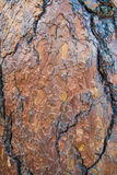 Casca do pinho Foto de Stock