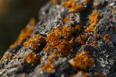 Casca do pinho do close up na árvore na natureza Foto de Stock Royalty Free
