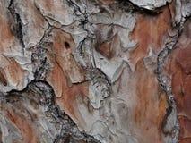 Casca do pinho de Chir Foto de Stock