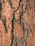 Casca do pinho de Ponderosa imagens de stock