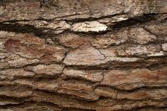 A casca do pinho surge fundos da textura, textura 7 Foto de Stock