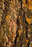 Casca do Poplar Foto de Stock