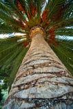 Casca do tronco da palmeira e fundo da folha Fotografia de Stock