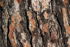 Casca do tronco de pinheiro Foto de Stock Royalty Free