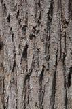Casca dos locustídeo pretos Imagens de Stock Royalty Free