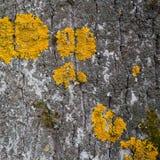 Casca e musgo em uma árvore velha Imagens de Stock