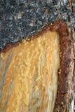 Casca e seiva de árvore do pinho Foto de Stock