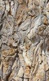 Casca em uma árvore antiga do cottonwood fotos de stock