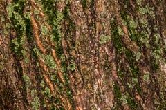 Casca enrugada rubi Fotografia de Stock Royalty Free