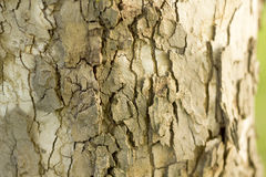 Casca fresca da casca Fotos de Stock Royalty Free