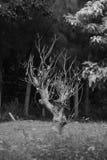 Casca inoperante preta de Picure que morre na selva Fotografia de Stock Royalty Free