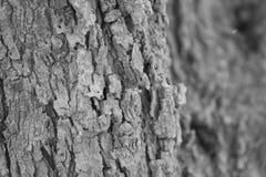 Casca inoperante preta de Picure que morre na selva Imagem de Stock