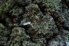 A casca no tronco de um fundo velho da textura do vidoeiro Fotos de Stock