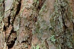 A casca no tronco de um teste padrão da textura do fundo do pinho Fotografia de Stock