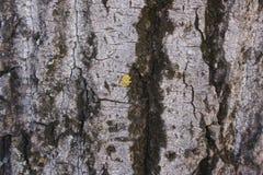 Casca, a pele de uma árvore Fotos de Stock