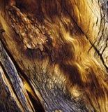 Casca, pinho de Bristlecone Fotografia de Stock