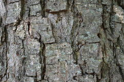 Casca velha Fotografia de Stock