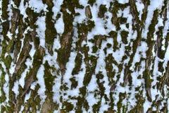 Casca velha da árvore com um close up da neve na floresta do inverno fotos de stock