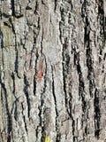Casca velha do carvalho fotografia de stock royalty free