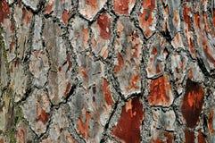 Casca velha do pinho fotografia de stock