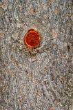 Casca velha do pinho foto de stock