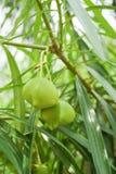 Cascabela黄夹竹桃属果子 库存图片