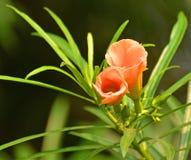 Cascabela-Thevetia Stockfoto
