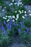 Cascada Fleabane y Lupine Spp , Soporte Rainier National Park Wildflowers Imágenes de archivo libres de regalías