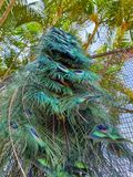 Cascade of beautiful tail feathers of a peacock. Cascade of beautiful tail feathers of a peacock which is standing on a fence below green palm trees stock photography