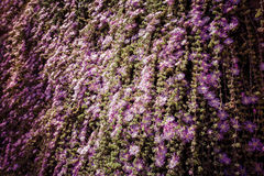 Cascade blooming ivy Stock Photo