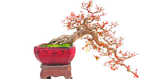 Cascade bonsai plant. The cayenne cherry tree (eugenia uniflora) arranged in popular cascade form of bonsai in a handmade clay pot Royalty Free Stock Image