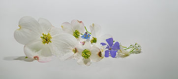 A Cascade Of Flowers on white. White and purple delicate blossoms on a white background Royalty Free Stock Photo