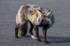 Cascade Fox. Walking on a road royalty free stock images