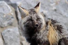 Cascade Fox. Walking on a road royalty free stock photos
