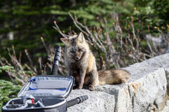 Cascade Fox. Walking on a road royalty free stock photography