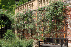 Cascade garden in Prague. With a climbing rose on a brick wall Royalty Free Stock Image